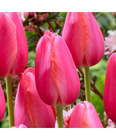 Tulip 'Cape Holland' -50pk