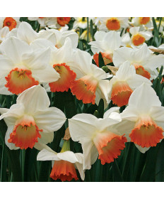 Narcissus 'Pink Charm' -50pk