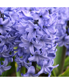 Hyacinth 'Blue Star'- 50 pk