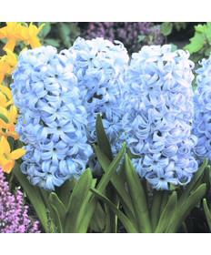 Hyacinth 'Sky Jacket'- 50pk