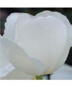 Tulip 'Maureen' -50pk